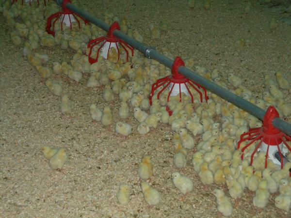 Poultry Fattening Project